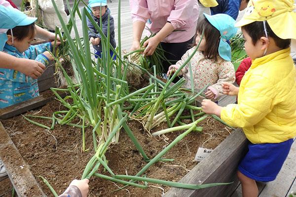 収穫体験に訪れている園児たち。